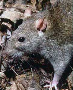Giant rats invading Ireland